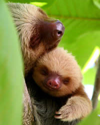 mommy hugging her baby sloth